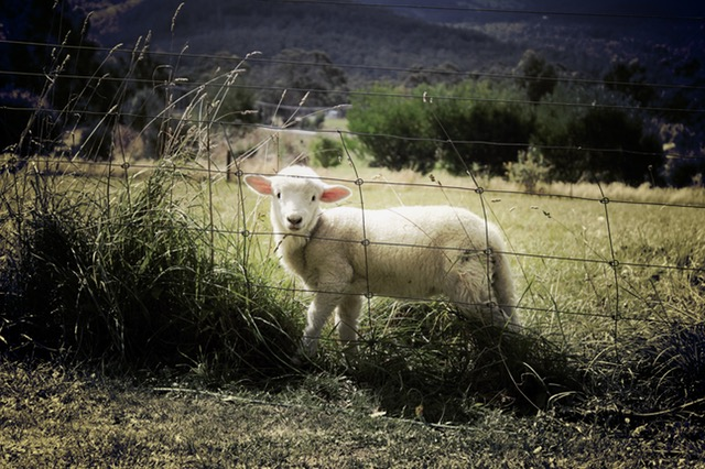 lamb-sheep-farm-animal-47078