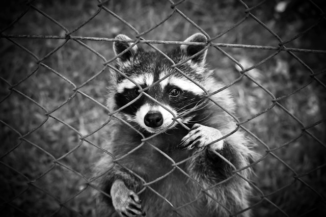 raccoon-animal-animal-world-wildlife-photography-160709